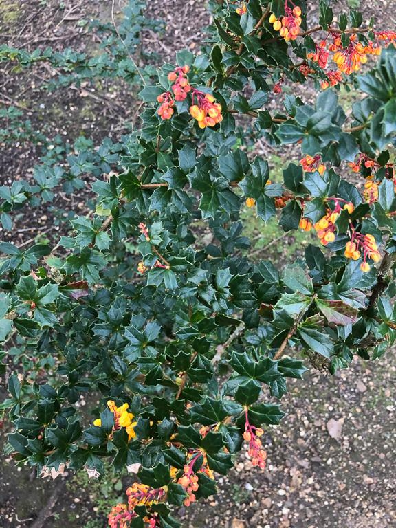 Berberis darwinii: whole plant