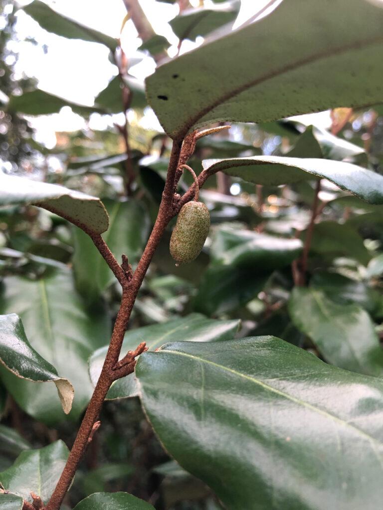 Eleagnus x ebbingei, fruit