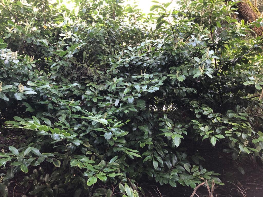 Prunus laurocerasus, Cherry Laurel, bush in flower