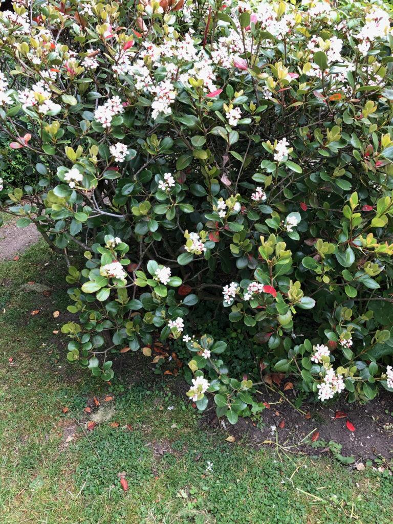 "Escallonia ""Apple Blossom"", shrub in flower"
