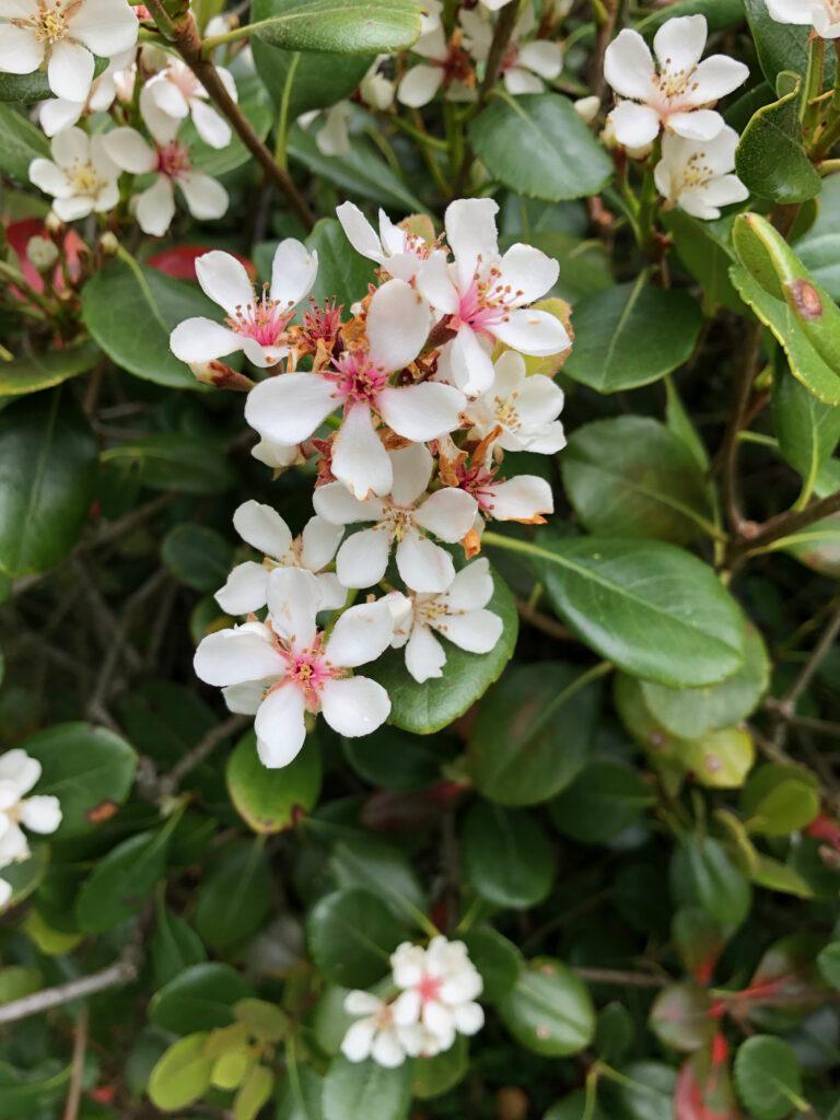 "Escallonia ""Apple Blossom"", flowers"