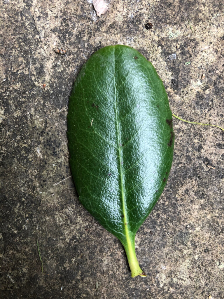"Escallonia ""Apple Blossom"", leaf upper surface"