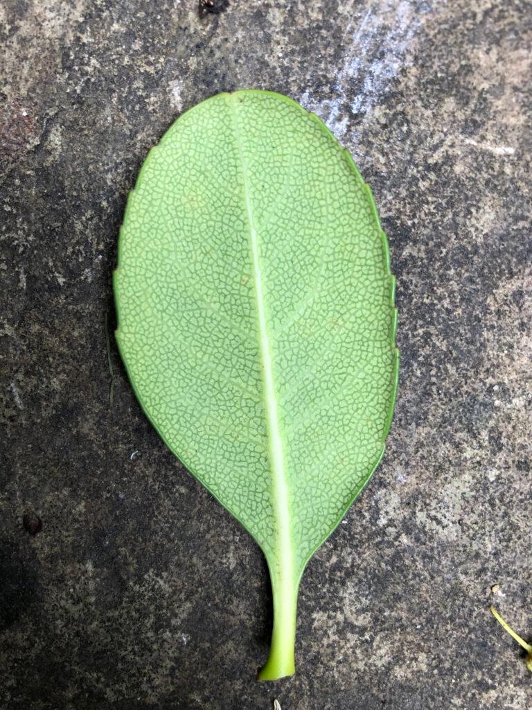 "Escallonia ""Apple Blossom"", leaf lower surface"
