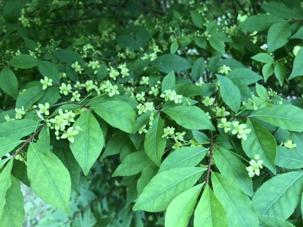 Euonymus alatus, Burning Bush, flowers