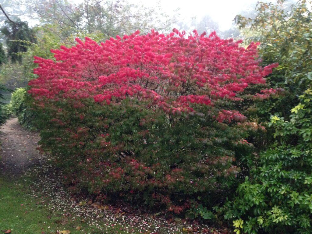 Euonymus alatus, Burning Bush, autumn