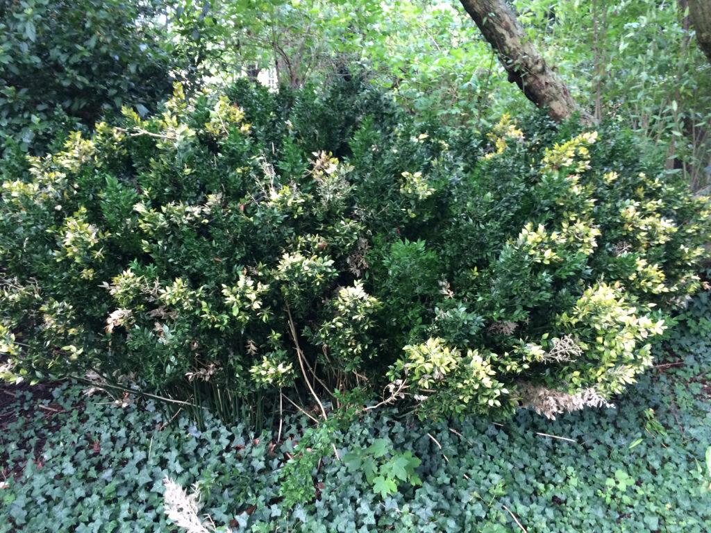 Ruscus aculeatus, Butchers Broom, bush