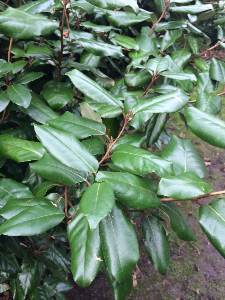Eleagnus x ebbingei, leafy shoot