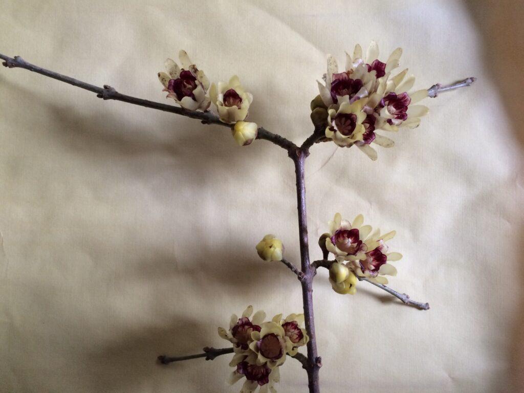 Chimonanthes praecox, Wintersweet, flowers