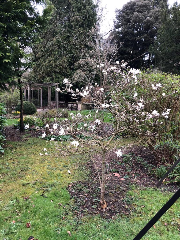 Magnolia stellata: shrub in flower