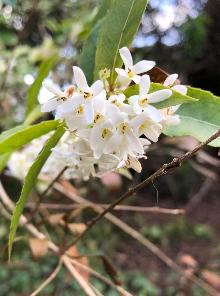 Osmanthus fragrans: flowers