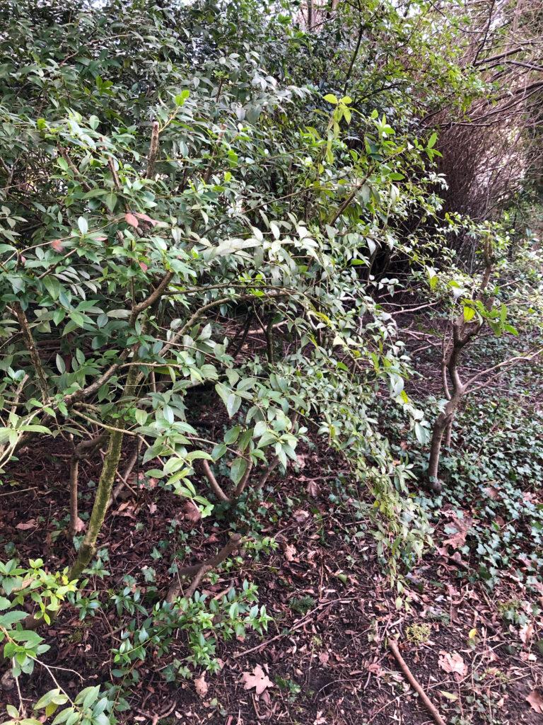 Osmanthus fragrans: shrub