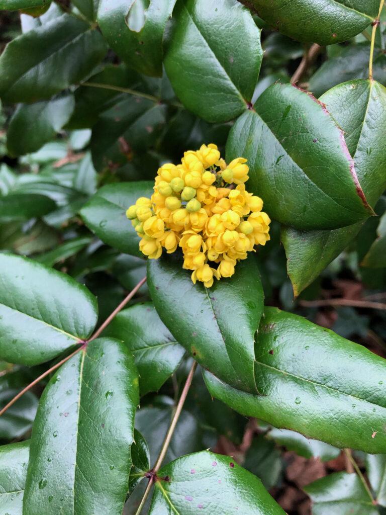 Mahonia pumila: inflorescence
