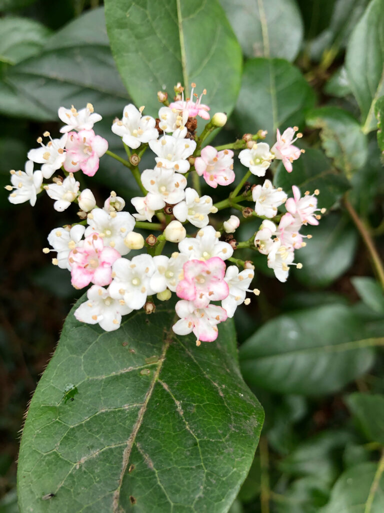 Viburnum tinus: inflorescence
