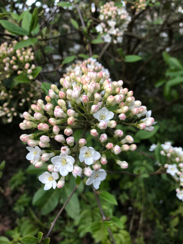 Viburnum x carlcephalum: Inflorescence