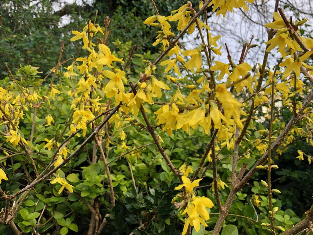 Forscythia intermedia: flowers