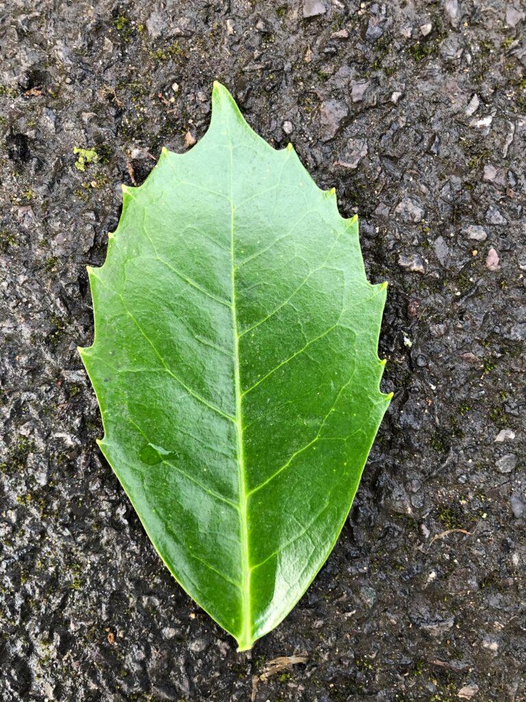 Aucuba japonica: leaf upper surface ( male plant )