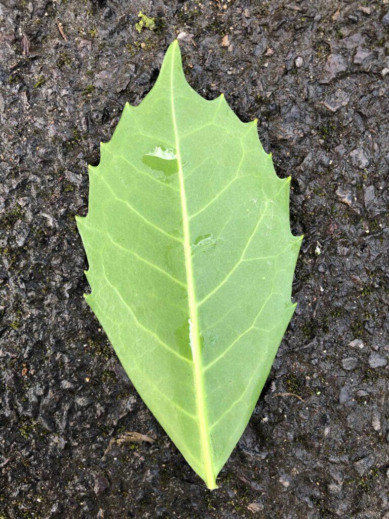 Aucuba japonica: leaf, lower surface ( male plant)