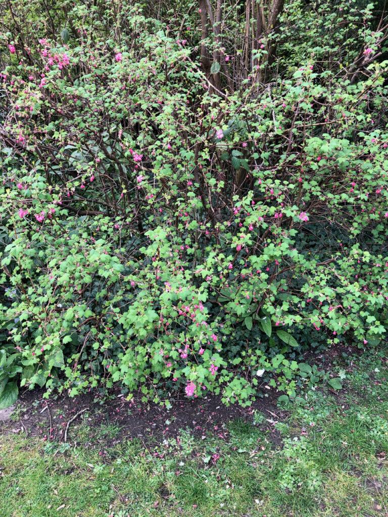 Ribes sanguineum: shrub