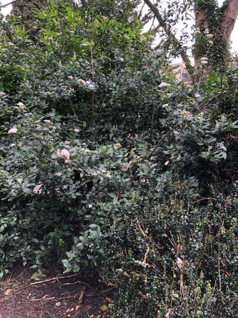 Viburnum tinus: shrub in flower