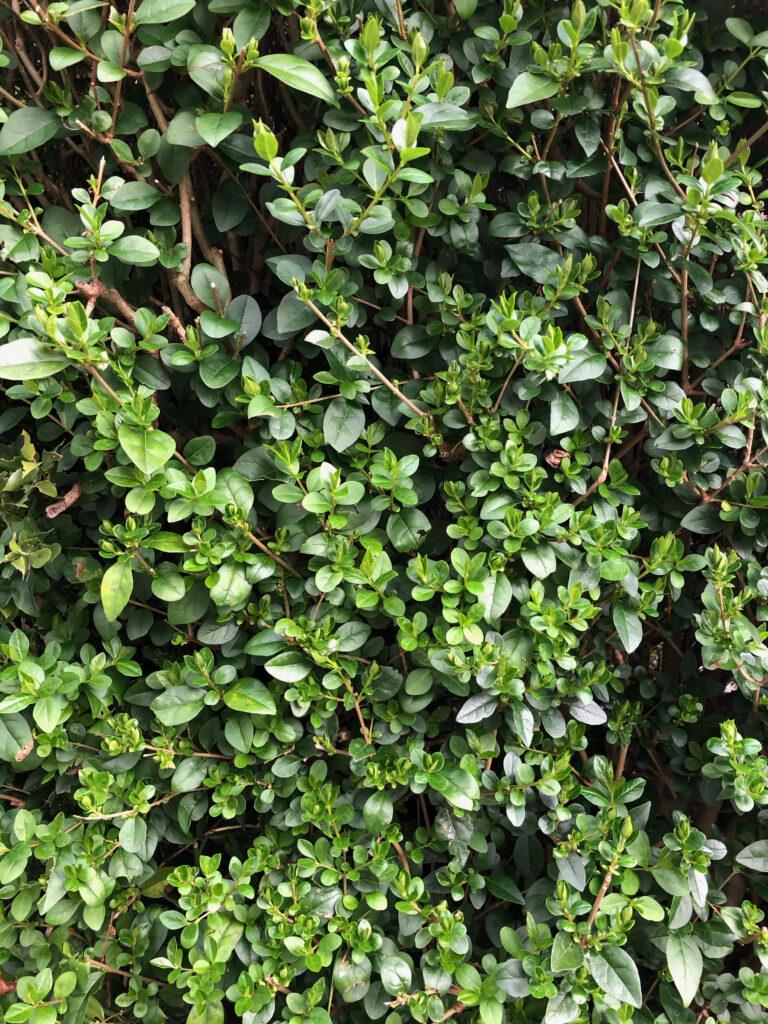 Ligustrum ovalifolium: leafy shoots