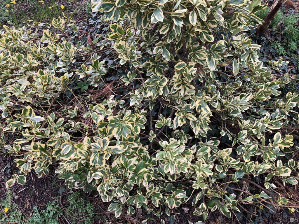 Euonymus fortunei: shrub