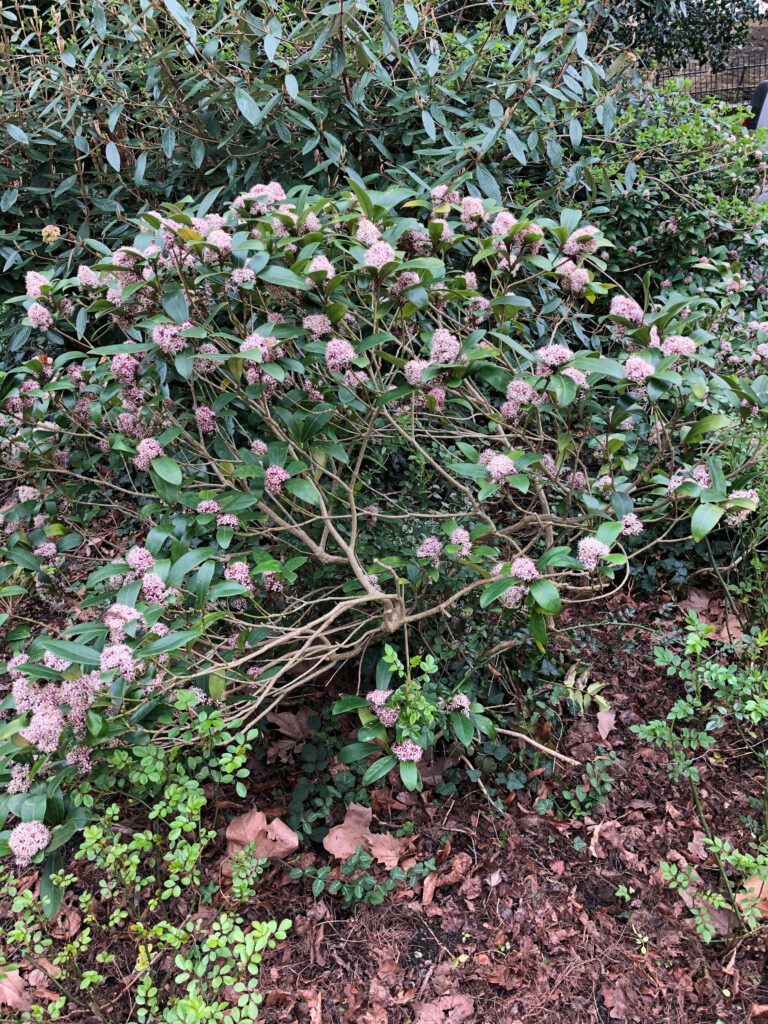 Skimia x confusa: shrub