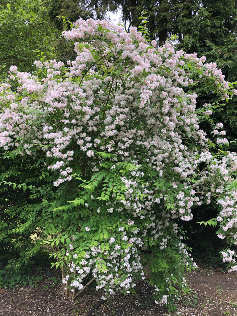 Philadelphus 'Dainty Lady' : shrub in flower