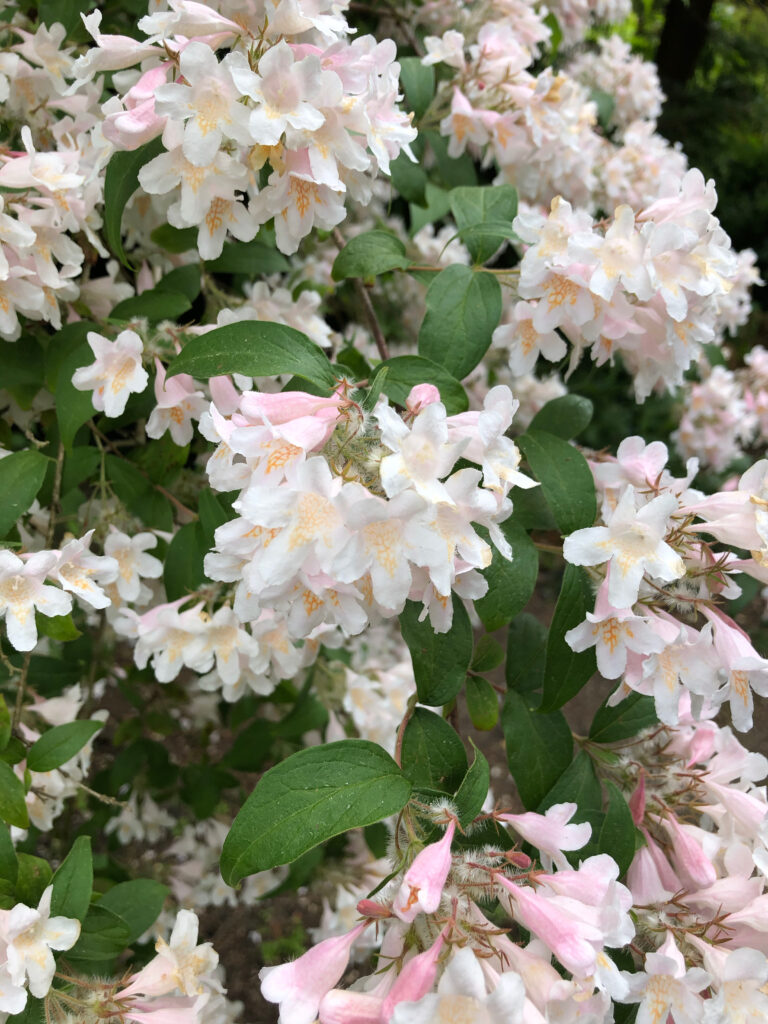 Philadelphus cv 'Dainty Lady': flowers