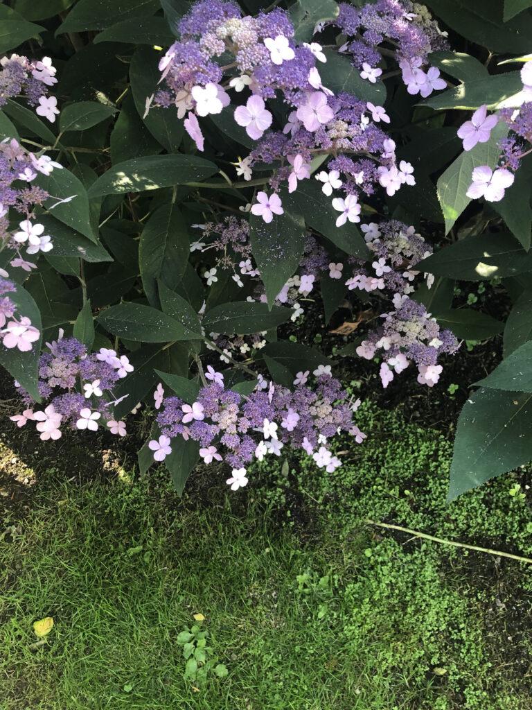 Hydrangea aspera: inflorescences