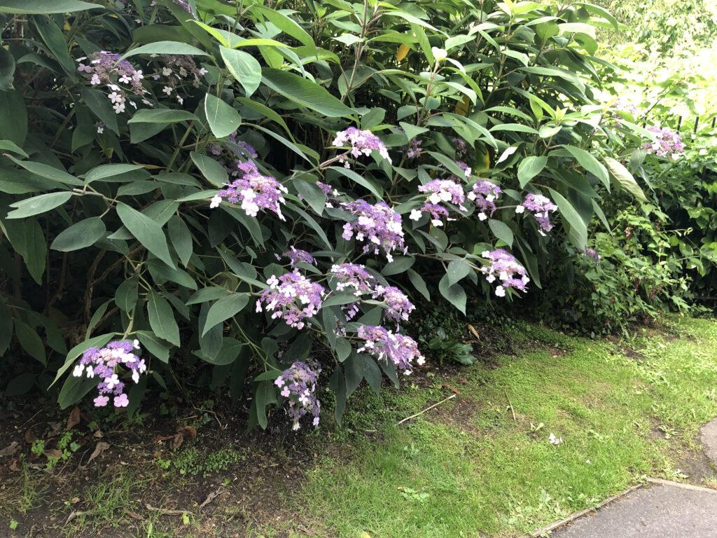 Hydrangea aspera: shrub