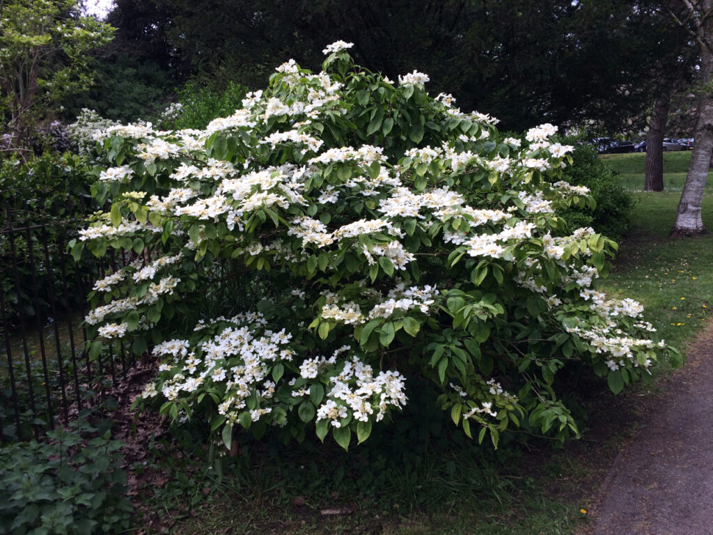 Hydrangea serrata: shrub in flower