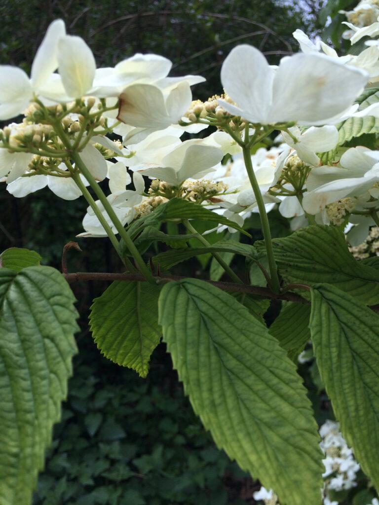 Hydrangea serrata: flowers and leaves