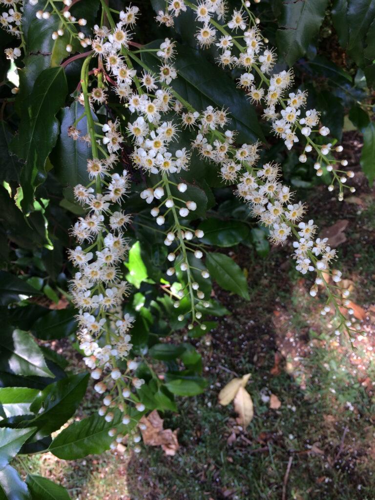 Prunus lusitanica: inflorescence