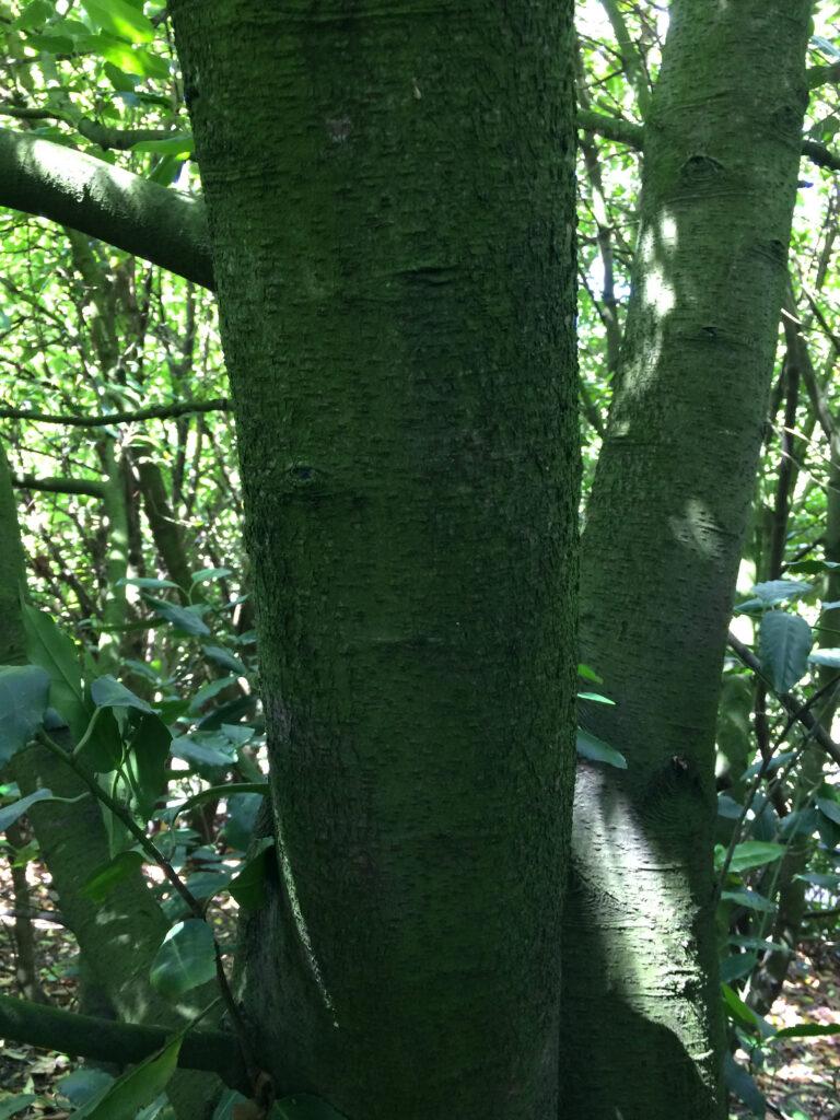 Prunus lusitanica: bole
