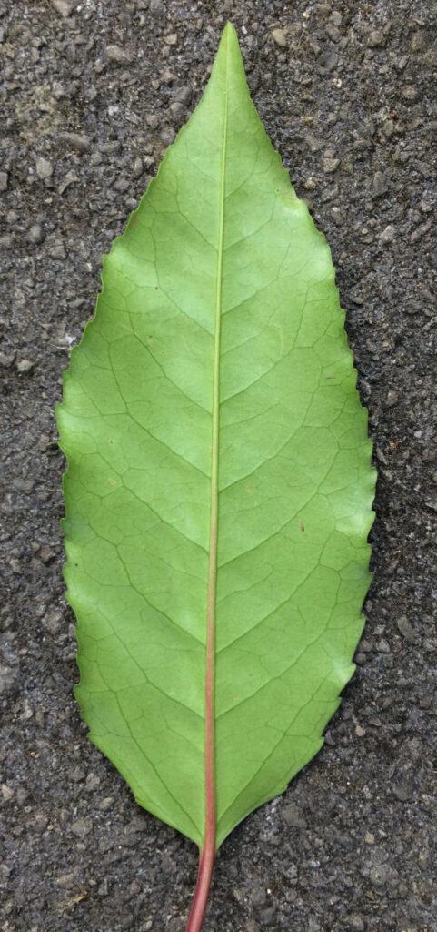 Prunus lusitanica: leaf, lower surface