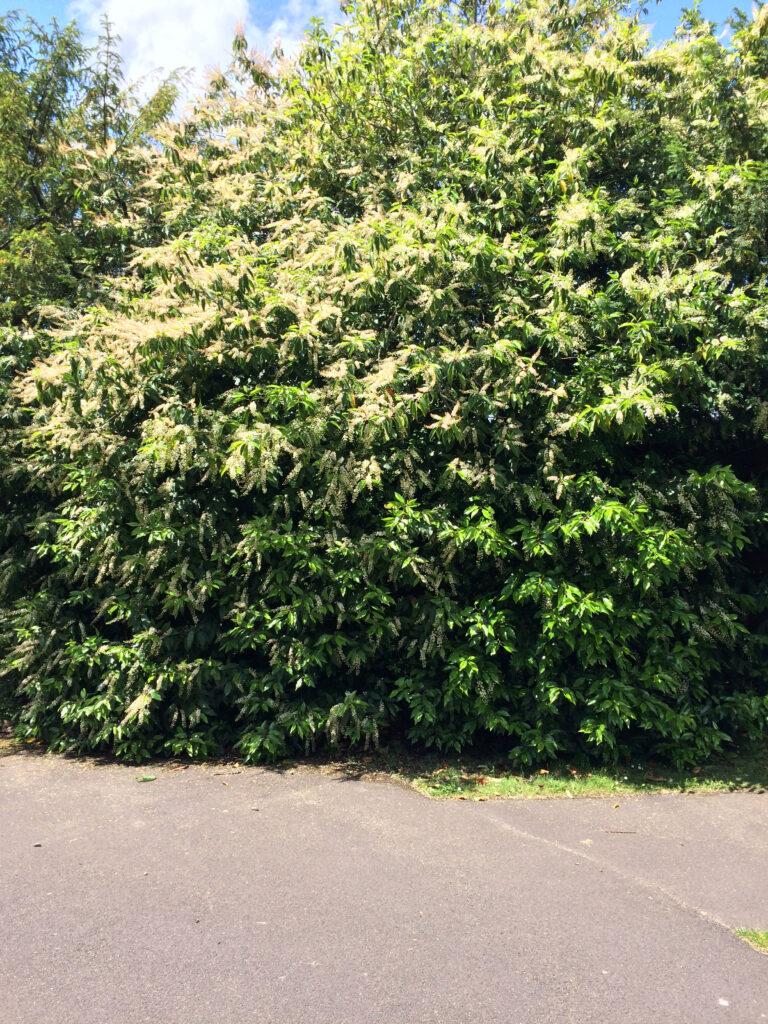 Prunus lusitanica: shrub in flower