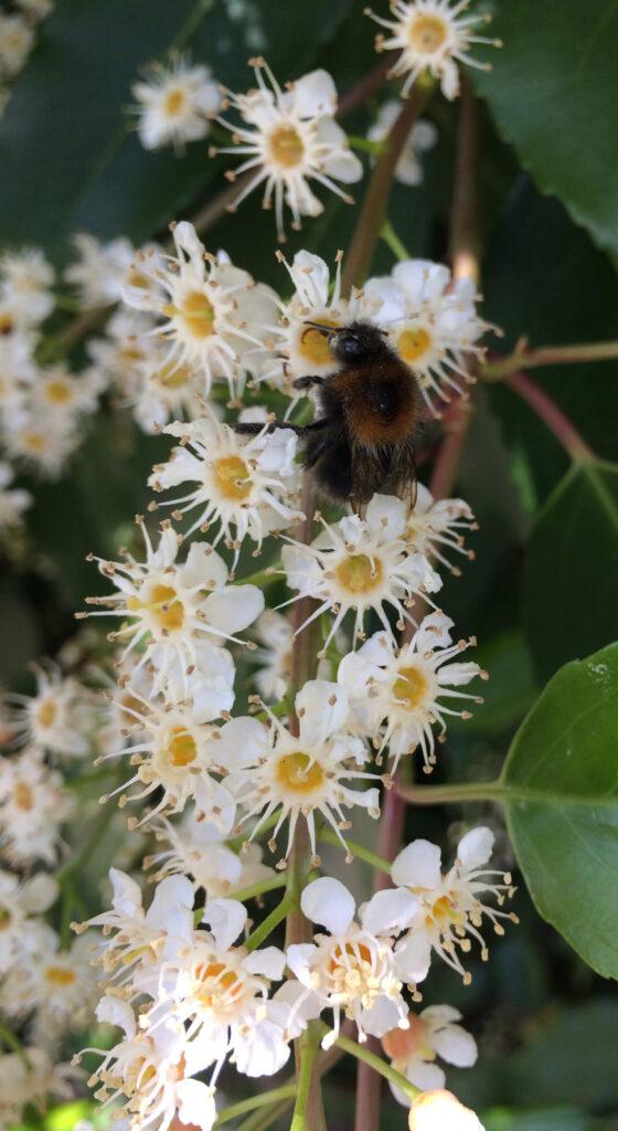 Prunus lusitanica: flowers