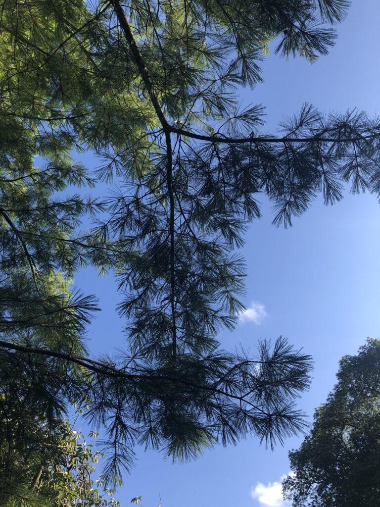 Pinus wallichiana: branches