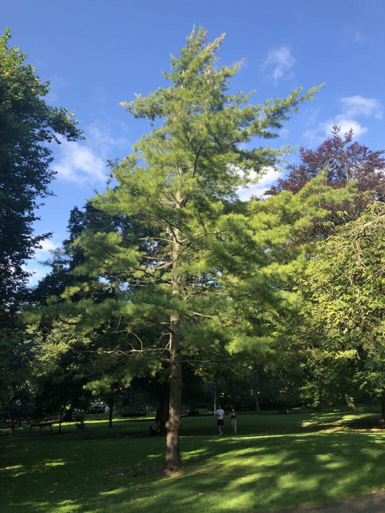Pinus wallichiana: tree