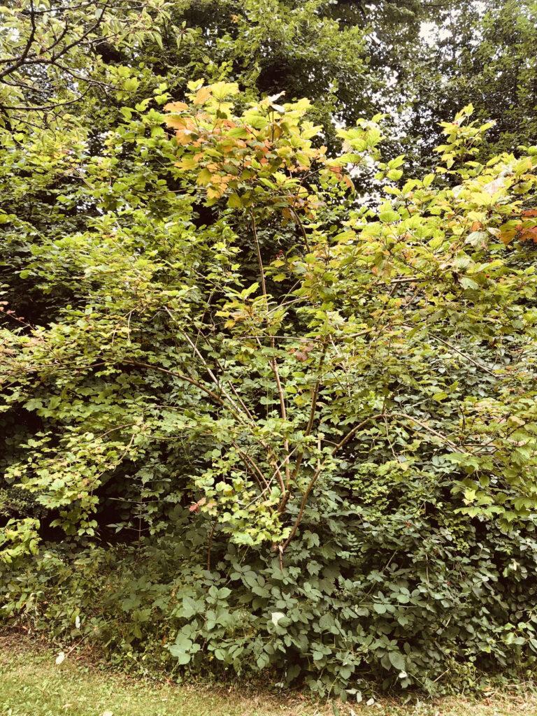 Viburnum opulus: shrub