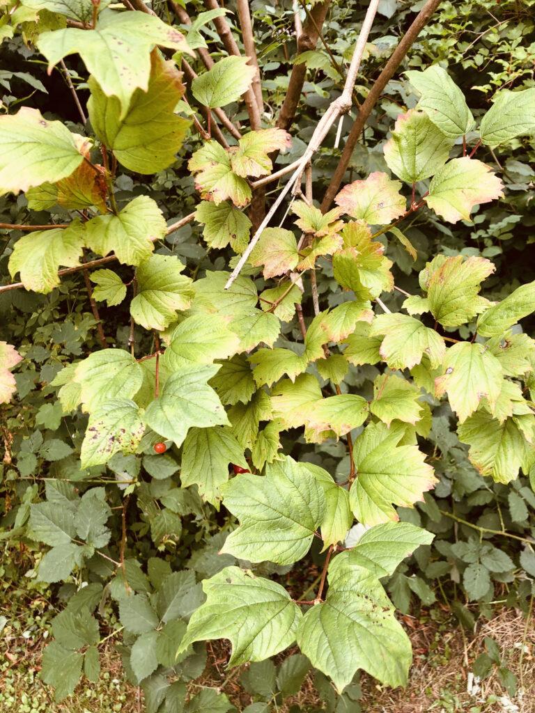 Viburnum opulus: leafy shoots