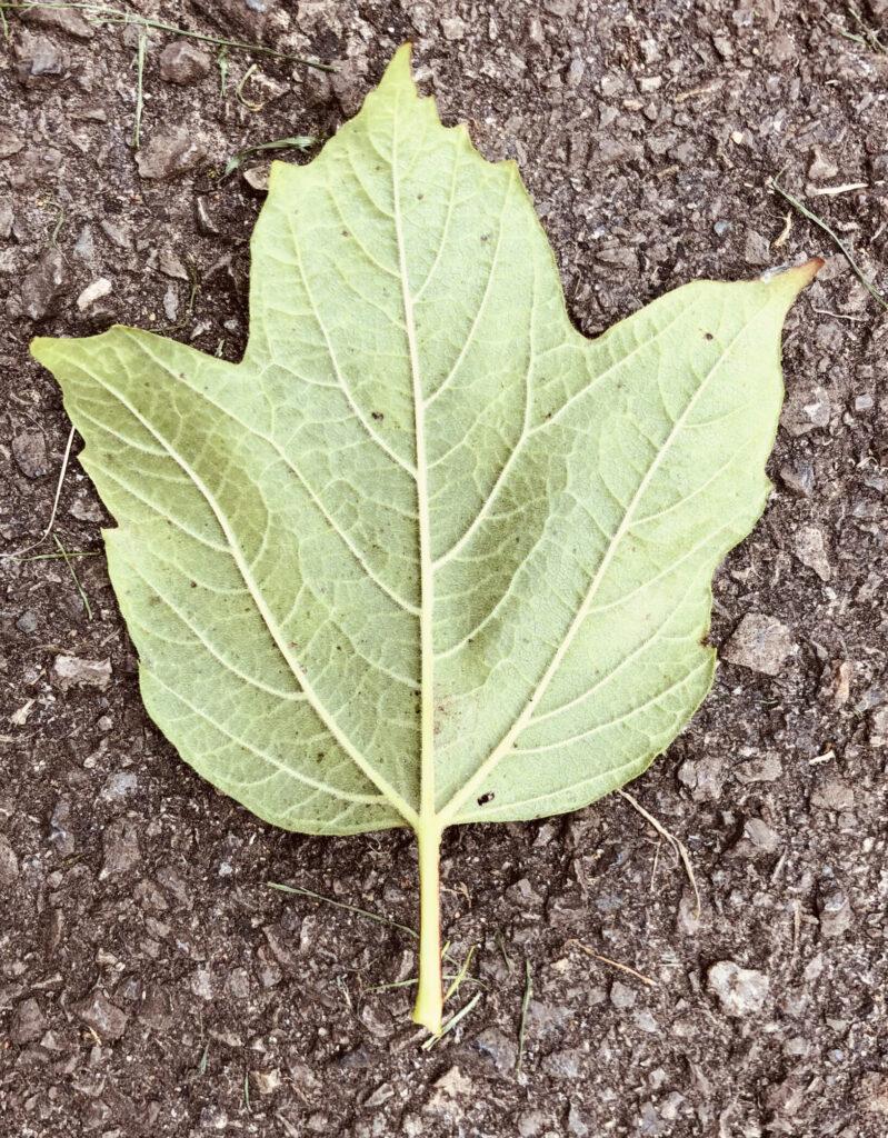 Viburnum opulus: leaf, lower surface