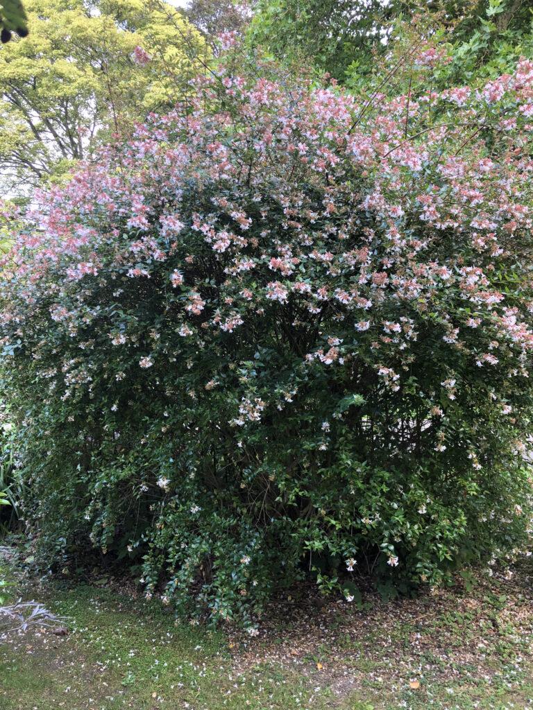 Linnaea x grandiflora: shrub