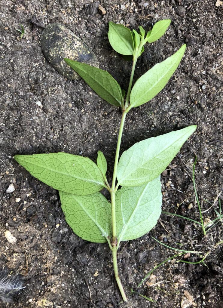 Linnaea x grandiflora: leaves, lower surface