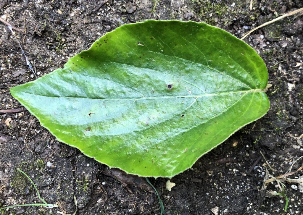 Viburnum x carlcephalum: leaf upper surface