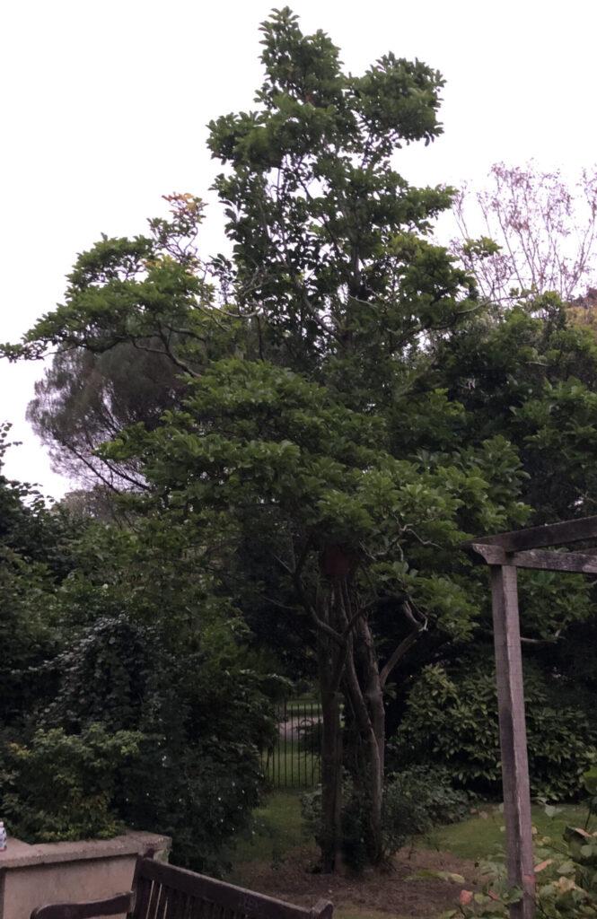 Magnolia sp.: shrub