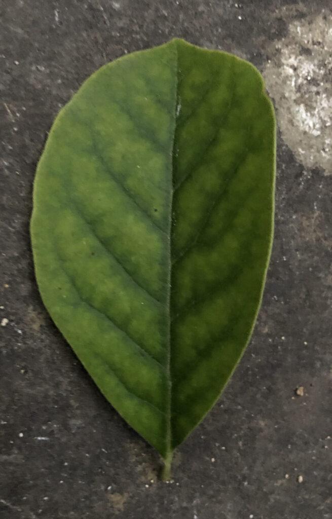 Magnolia sp.: leaf, upper surface