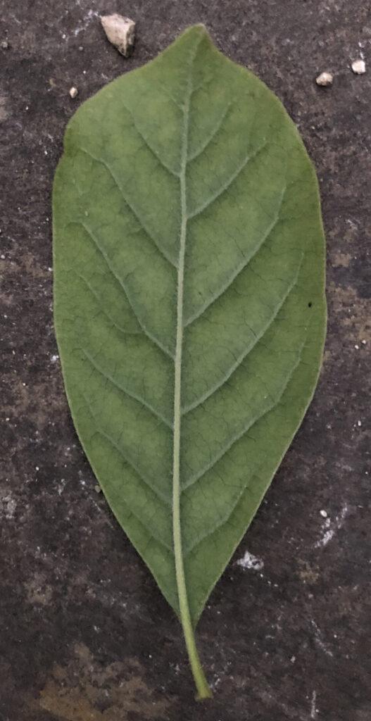 Magnolia sp.: leaf, lower surface