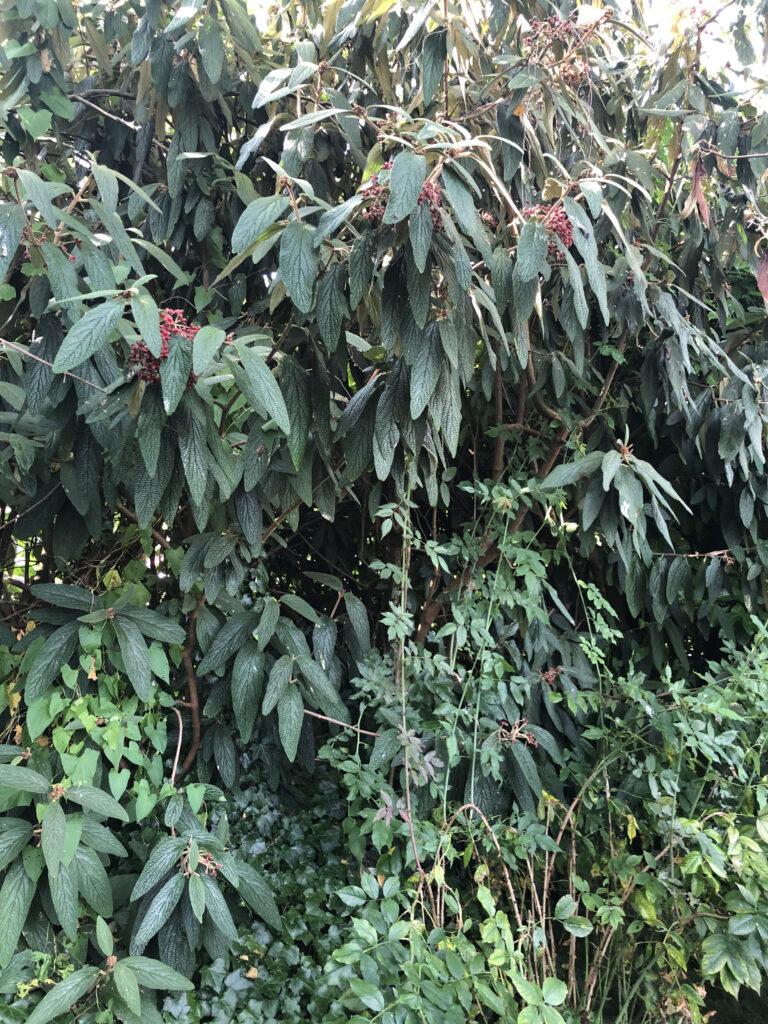 Viburnum rhytidophyllum: shrub