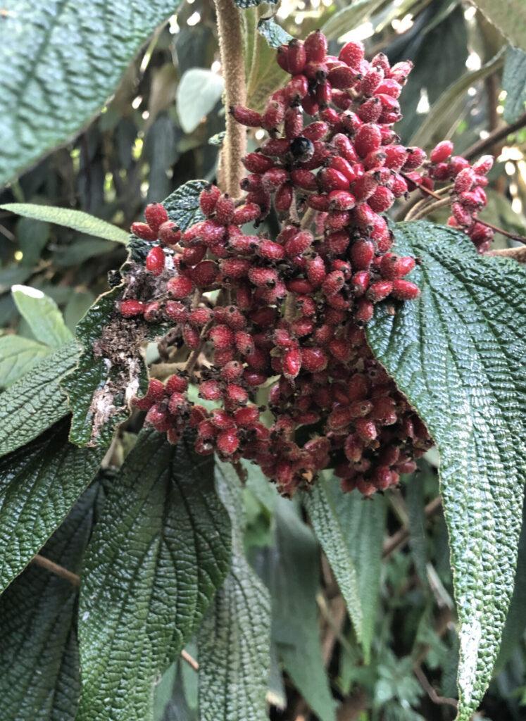 Viburnum rhytidophyllum: ripening fruit